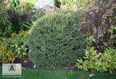 Picea abies 'Brabant' -