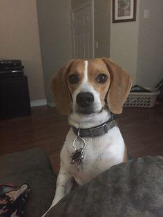 Human give me the almond now. : beagle