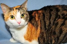 """Hi, I'm Flower. I'm a big, beautiful plus size calico girl. I just love people. If you come see me in the reception area at the shelter, I'll greet you with a friendly """"meow"""" right away. If you pet me, I promise to purr really loud. I would love to go home with you. I promise to be the best cat your ever had and love your forever. Please come see soon. The nice people here would even let you take me home for a few days and see how it works out. I'm waiting right up front at the shelter."""
