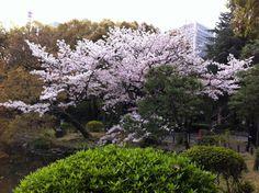 Sakura, Hibiya Park, Tokyo