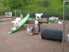The kids at a dairy goat farm in Maui get to play on a surfboard!