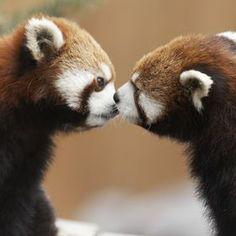 Photo Pandas kiss by Andre Villeneuve on 500px