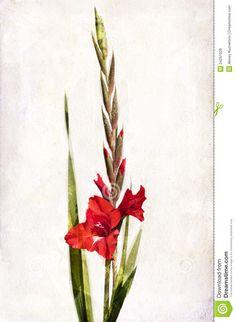 Illustration of watercolor red gladiolus on a vintage background.