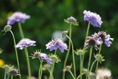 Just Seed - British Wild Flower - Small Scabious - Scabiosa columbaria - 200 Seed by Just Seed, http://www.amazon.co.uk/dp/B00AQTVN92/ref=cm_sw_r_pi_dp_uagyrb07WS3A6