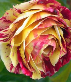 ~~A Spectrum of Roses (10 of 38) by Poet X~~