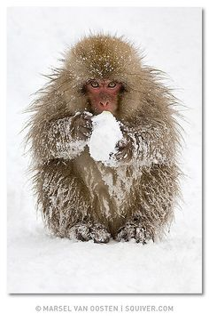 Wanna play?  © Marsel van Oosten  This cheeky little snow monkey made a snow ball and looked at me as if it wanted to start a snow fight. Shot on one of the first Japan workshops.