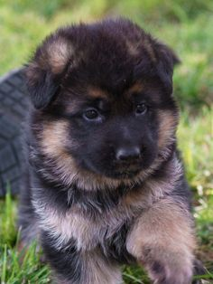 German Shepherd Kennels, Baby German Shepherds, Cute German Shepherd Puppies, German Dogs, Best Dog Breeds, Best Dogs, German Shepherd Wallpaper, Cute Baby Dogs, Adorable Dogs