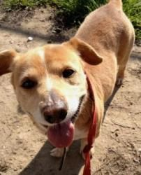 Corky is an adoptable Corgi Dog in Beverly Hills, CA.  CORKY is about 4 to 5 years old and 20-25 lbs. He is a corgi mix with a timid and shy demeanor. He's great with other dogs, but is cautious aro...