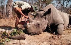 La Justicia sudafricana falla a favor del comercio de cuerno de rinoceronte