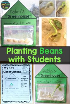 Planting beans in a bag with kids plus additional ideas for teaching students about plants and growing things. Plant Experiments, Plant Science, Science Experiments Kids, Science For Kids, Science Activities, Planting A Rainbow, Planting For Kids, How Plants Grow, Plant Lessons