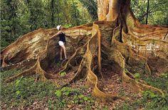 Дерево с необычными корнями, Коста-Рика.