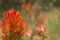 Wyoming's State Flower: Indian Paintbrush