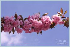Dora Sofia Caputo Photographic Design and Fine Art - Cherry Blossoms and Blue Skies