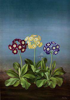 Auriculas - Paul Jones Flora Magnifica and Flora Superba botanical prints , 1970s - from Panteek.com