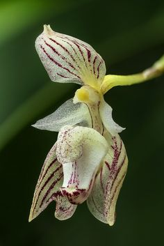 Bulbophyllum ambrosia (1.2x) | Flickr - Photo Sharing!