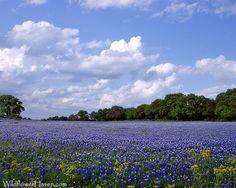 Gorgeous Texas Bluebonnets. Love