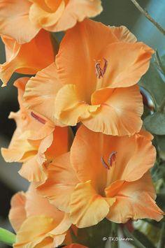 """Orange Gladiolus well-known flower in Holland. Be in bloom end of summer.       Gladiolen. Vaak gegeven aan de deelnemers van de """"Vierdaagse"""" te Nijmegen bij de finish."""
