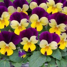 Viola Lemon Royale