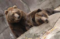 mz-16 Milwaukee Zoo, Brown Bear, Animals, Animais, Animales, Animaux, Animal