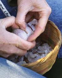 Grow Your Own Garlic - FineGardening