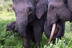 """Borneo y Sumatra son el hogar de los elefantes """"pigmeos"""", esta especie está en peligro de extinción"""