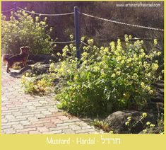 Mustard - in Hebrew = Hardal חרדל