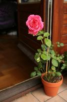 Grow a new rose by taking cuttings from stems that have just finished blooming.