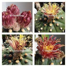 http://www.ebay.com/itm/30-Korn-Seeds-Astrophytum-asterias-cv-Akabana-Shinshowa-Red-Flower-x-Shinsh-EU-/282298061271?hash=item41ba4691d7:g:XZMAAOSw8w1X-opL