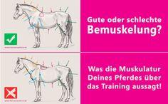 Anhand der Bemuskelung Deines Pferdes kannst Du Trainingsfehler erkennen und Dein Training entsprechend anpassen. Hier gibt es mehr Infos!