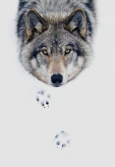 johnnybravo20: Timber Wolf Stare (by Jim Cumming) Edited by...