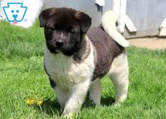 This charming Akita puppy has a wonderful personality. This puppy is vet checked, vaccinated, wormed and Akita Puppies For Sale, Baby Puppies For Sale, Mans Best Friend, Best Friends, American Akita, Shiba, Cute Babies, Dog Lovers, Labrador Retriever