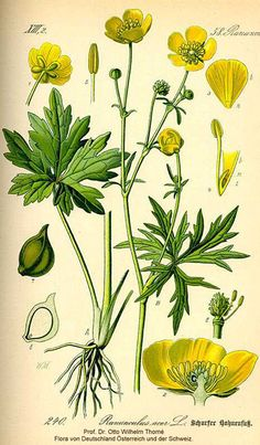 Tall Buttercup, Ranunculus acris, Naturalized Minnesota Wildflower ...