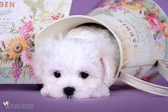Maltese puppy for sale.