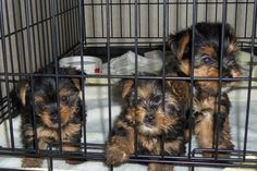 Valentines Day Cute CKC Yorkshire Yorkie Terrier Female & Male Puppies I'd be crazy to think I'd get ones for valentines, but it would be so wonderful!