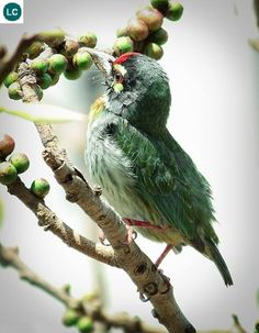 https://www.facebook.com/WonderBirds-171150349611448/ Cu rốc cổ đỏ; Họ Cu rốc châu Á-Megalaimidae; tiểu lục địa Ấn Độ và Đông Nam Á || Coppersmith barbet/Crimson-breasted barbet (Psilopogon haemacephalus); IUCN Red List of Threatened Species 3.1 : Least Concern (LC)(Loài ít quan tâm)