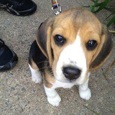 Friend's beagle puppy Bruno