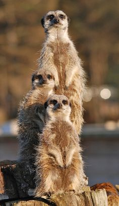 Meerkats. So excited to work with these guys! Wonder how many times they get asked which one is Timon? ;)