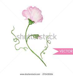 Vector cute watercolor pink sweet peas.