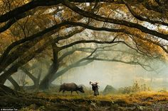 Otherworldly: A Chinese farmer walks a cow through a dimly lit, misty forest which looks like an image straight from fantasy film