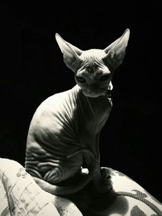 """[Want a Sphynx Cat so bad, want to name her 'Raisin'.] ** CAT: """" Dat's a cool name, but remember dat raisins be worried grapes. I Love Cats, Crazy Cats, Cute Cats, Sphinx Cat, Rex Cat, Sleepy Cat, Cat Photography, Cat Names, Fauna"""