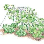 Trellis Keeps Cucumbers Straight and Blemish-Free
