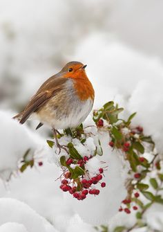 Rouge-gorge familier Erithacus rubecula European Robin Un hiver sous la neige . Pretty Birds, Love Birds, Beautiful Birds, Animals Beautiful, Cute Animals, Simply Beautiful, Baby Animals, Beautiful Pictures, Robin Vogel