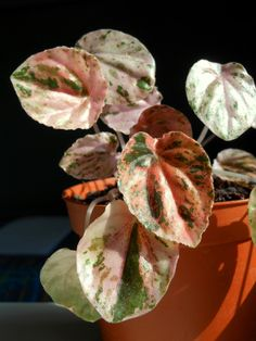 Peperomia caperata 'Pink Lady' Succulents Garden, Garden Plants, Indoor Plants, Planting Flowers, Begonia, Peperomia Plant, Succulent Names, Greenhouse Plants, Variegated Plants