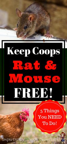 Keep your chicken coop free from rats and mice. No rodents in the coops means healthier birds.