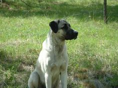 Living Off Grid - Our Livestock Guardian Dog Garden Animals, Farm Animals, Farm Kids, Anatolian Shepherd, Pet Dogs, Pets, Dog Mixes, Horses And Dogs, Ranch Life