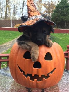 It's almost fall and Halloween!                                                                                                                                                                                 More http://www.poochportal.com/choosing-the-ri