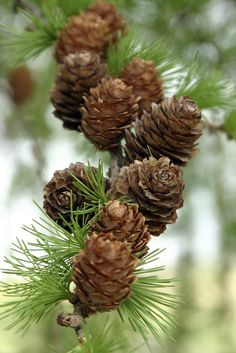 "Pine Cones can be an inexpensive toy for your parrot. You can utilize ""Wild"" (meaning found in the wild and in the local forested areas) Pine Cones for both treats and toys for Parrots."