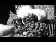 Semi dried Amarone style grapes ready for JOSEPH Moda