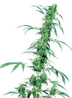 Fruity Juice which has been bred by the famous seed breeder Sensi Seeds. When you can afford it I can only recommend buying your seeds directly from them. Seed quality is guaranteed and their customer service is, in my experience, unrivaled  Fruity Juice is an old fashioned regular hemp strain which means it will produce both male and female plants.