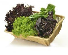 Сорта листового салата физалис